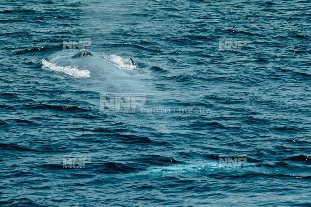 シロナガスクジラの画像 p1_38