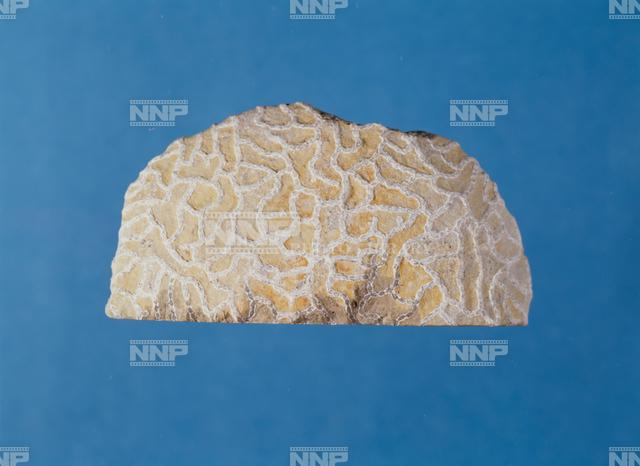 クサリサンゴの化石(床板サンゴ類) / ≪写真素材・ストックフォト ...