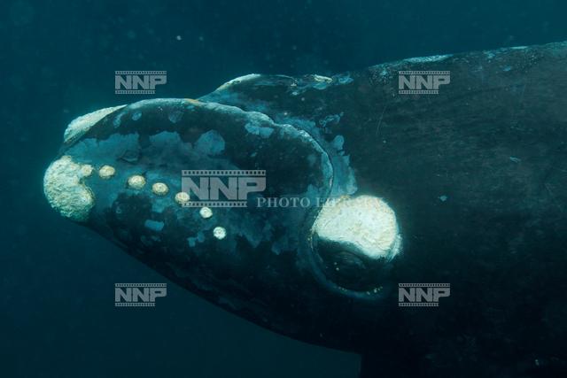 セミクジラの画像 p1_26