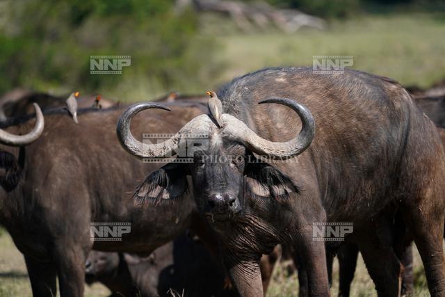 スイギュウ アフリカ